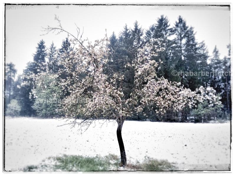 webApfelbaumblüte-Im-April-Schnee