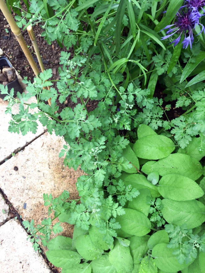 webMillion-Blooms-Teenie-Jungpflanze
