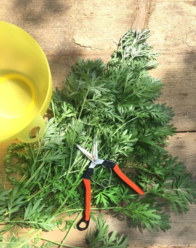 Wermut. Wermutpflanzen und andere biologische Schädlingsabwehr